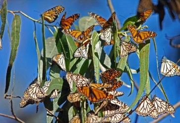 monarch-migration-155